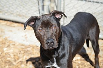 Labrador Retriever Mix Dog for adoption in Seattle, Washington - Billy