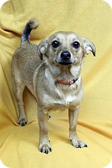 Chihuahua Mix Dog for adoption in Westminster, Colorado - SANDY