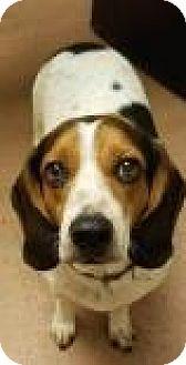 Beagle Mix Dog for adoption in Columbus, Georgia - Bandit 4196