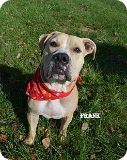 American Bulldog/Mastiff Mix Dog for adoption in Independence, Missouri - Frank the Tank