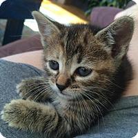 Adopt A Pet :: Cheetah - Brooklyn, NY