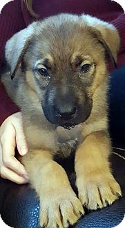 German Shepherd Dog/Retriever (Unknown Type) Mix Puppy for adoption in Detroit, Michigan - Jangle-Adopted!