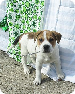 St. Bernard/Terrier (Unknown Type, Medium) Mix Puppy for adoption in West Chicago, Illinois - Astor