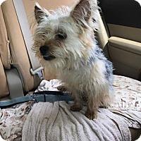 Adopt A Pet :: Ollie - Baltimore, MD
