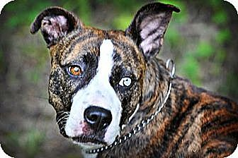 American Pit Bull Terrier Dog for adoption in Fredericksburg, Virginia - Carmella- Courtesy Listing