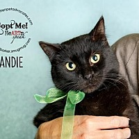 Bombay Cat for adoption in Pearland, Texas - Candie