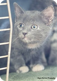 Domestic Shorthair Kitten for adoption in Homewood, Alabama - Asher