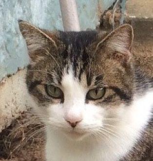 Domestic Shorthair Cat for adoption in Mobile, Alabama - Nikki