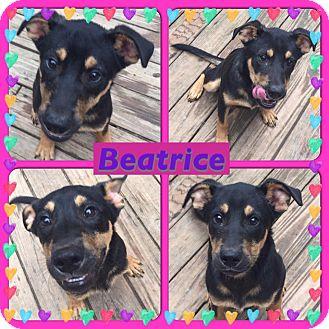 Rottweiler/Shepherd (Unknown Type) Mix Puppy for adoption in ST LOUIS, Missouri - Beatrice