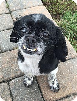 Shih Tzu Mix Dog for adoption in Rye Brook, New York - Lola