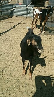 Goat for adoption in Palmdale, California - OneLastChance