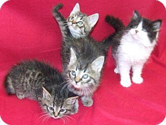 Domestic Mediumhair Kitten for adoption in Watauga, Texas - Really Pretty Kittens