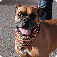 Adopt A Pet :: Autumn - Denver, CO