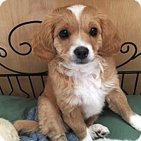 Adopt A Pet :: Cora - San Diego, CA
