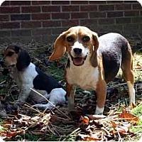 Adopt A Pet :: Bunnie - Albany, NY