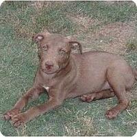 Adopt A Pet :: Pebbles - Glastonbury, CT