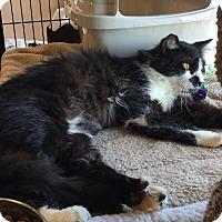 Adopt A Pet :: Paxton J. Fluffybutt - Horsham, PA
