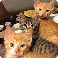 Adopt A Pet :: Chai - Byron Center, MI