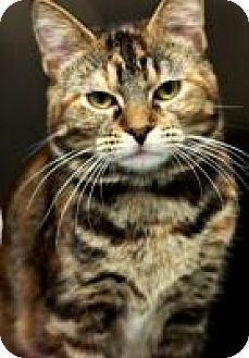 Domestic Shorthair Cat for adoption in Hanna City, Illinois - Sassy