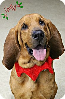 Bloodhound Dog for adoption in Dunkirk, New York - Holly