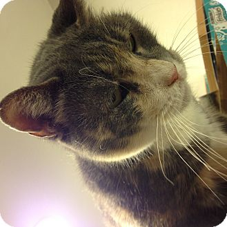 Domestic Shorthair Cat for adoption in New York, New York - Kate