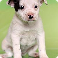 Adopt A Pet :: Faith - Waldorf, MD