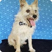Terrier (Unknown Type, Small) Mix Dog for adoption in San Antonio, Texas - Frankie