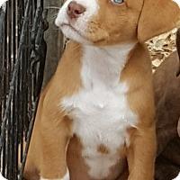 Adopt A Pet :: Colt - Pipe Creek, TX