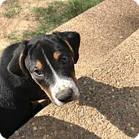 Adopt A Pet :: Ranger - Spring City, PA