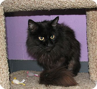 Domestic Longhair Cat for adoption in New Kensington, Pennsylvania - Pie