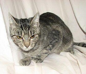 Domestic Shorthair Cat for adoption in Fort Walton Beach, Florida - Elvira