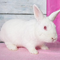 Other/Unknown Mix for adoption in Los Angeles, California - Killer Bunny