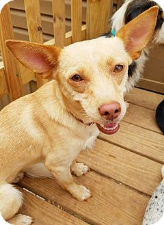 Chihuahua/Terrier (Unknown Type, Small) Mix Dog for adoption in Kingston, Tennessee - Ruby