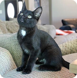Domestic Shorthair Cat for adoption in Troy, Michigan - Poutine