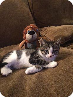Persian Kitten for adoption in Lodi, California - Virgo
