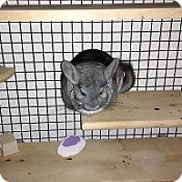 Adopt A Pet :: Bella - Avondale, LA