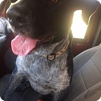 Adopt A Pet :: Bear 2-pending adoption - Manchester, CT