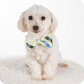 Maltese Dog for adoption in St. Louis Park, Minnesota - McKennon (Adoption Pending 4/20)