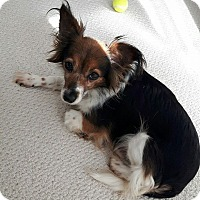 Adopt A Pet :: Darla - St. Catharines, ON