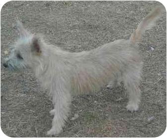 Cairn Terrier Dog for adoption in Mesa, Arizona - Sophia