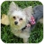 Photo 1 - Yorkie, Yorkshire Terrier/Maltese Mix Puppy for adoption in West Palm Beach, Florida - Pixie