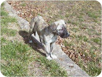 Mastiff/St. Bernard Mix Puppy for adoption in West Warwick, Rhode Island - Mastiff/Saint Mix Puppies :)