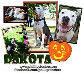 American Staffordshire Terrier/American Pit Bull Terrier Mix Dog for adoption in Colleyville, Texas - Dakota