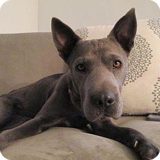Shepherd (Unknown Type)/Shar Pei Mix Dog for adoption in Scottsdale, Arizona - Talulah Blue