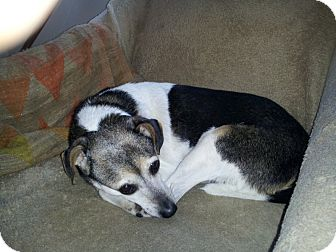 Jack Russell Terrier/Rat Terrier Mix Dog for adoption in hollywood, Florida - Jack