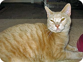 Domestic Shorthair Cat for adoption in O'Fallon, Missouri - Claude