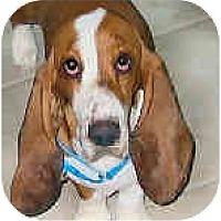 Adopt A Pet :: Daphne - Phoenix, AZ