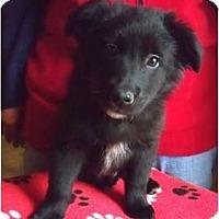 Adopt A Pet :: Teddy - Belleville, MI
