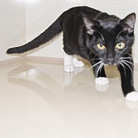 Domestic Shorthair Cat for adoption in Walnut Creek, California - Martina