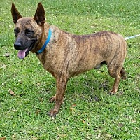 Dutch Shepherd/Terrier (Unknown Type, Medium) Mix Dog for adoption in Huntington, New York - Bass - N